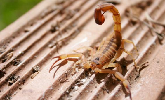 pernambuco registra aumento de 25 8 em acidentes com escorpião